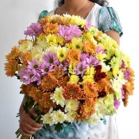 50 Stems of Chrysanthemum