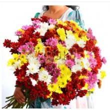 100 Stems of Chrysanthemum